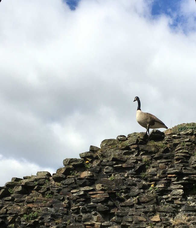 Our-weekly-journal-10-April-caerphilly-castle-goose-on-ruined-wall