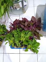 bibit sayur hidroponik