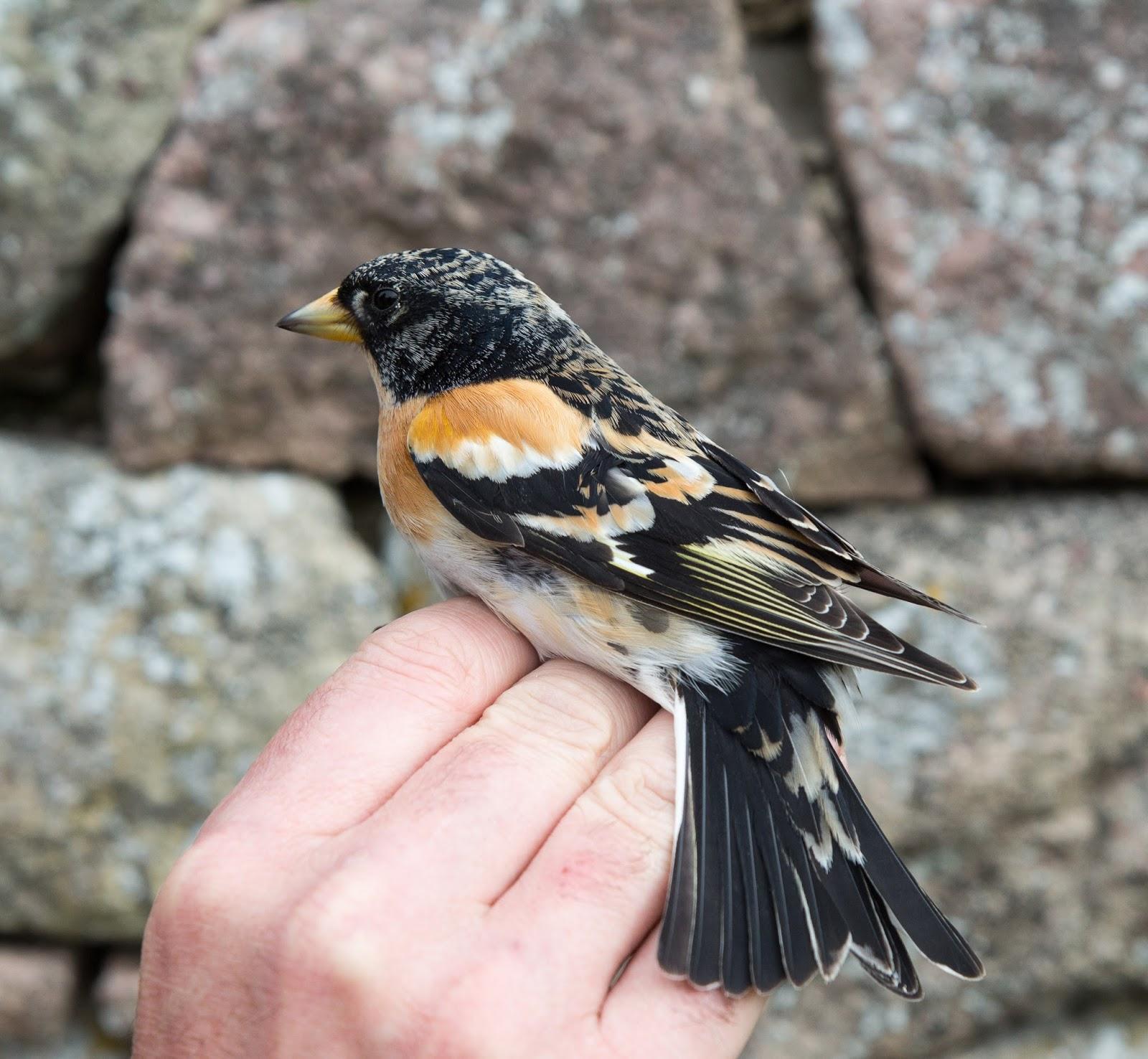Alderney Bird Ringing