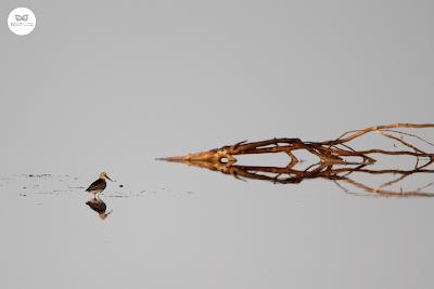 Correlimos común - Calidris alpina