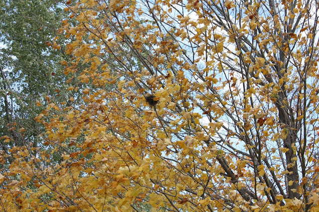 Bird nest in a golden hued tree during fall at Volo Bog in Illinois.