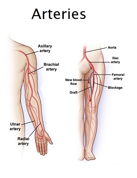 femoral artery blood flow - 526×684