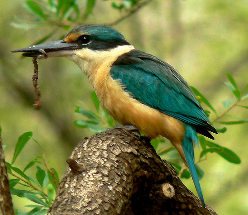 kingfisher with worm for dinner
