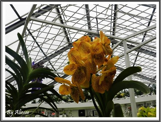 orhidee-portocalii