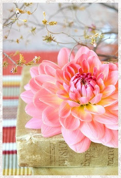 beautiful pink dahlias on an old book