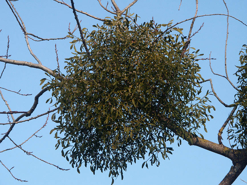 what is the symbiotic relationship between a mistletoe and spruce