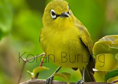 Pleci merupakan burung yang berciri khas pada bundar mata  Cara Perawatan Burung Pleci Agar Cepat Gacor Dan Ngalas