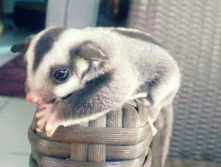 Cara Membuat Sugar Glider Bonding
