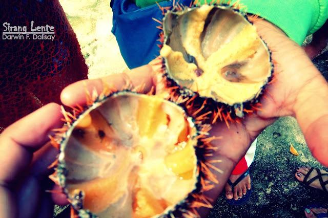Edible sea Urchin