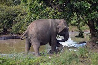 Fango für Elefanten - wellness for elephants