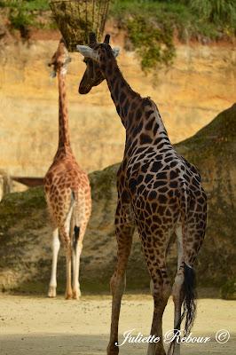 Girafe réticulée, Bioparc Doué-la-Fontaine