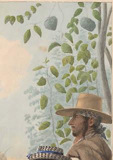acuarela rama y fruto chirimoya