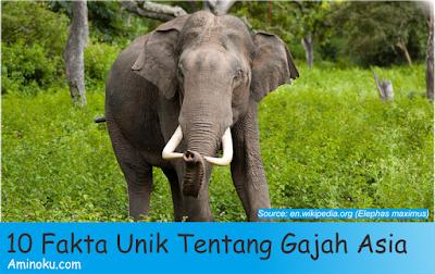 Fakta unik gajah asia