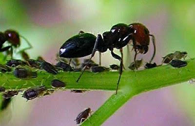 Formiche che raccolgono la melata.