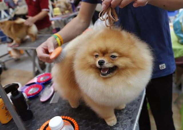 Người mẫu chân ngắn phiên bản chó