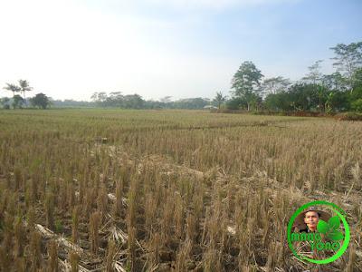 Sawah admin di Blok Tegalsungsang, Pagaden Barat