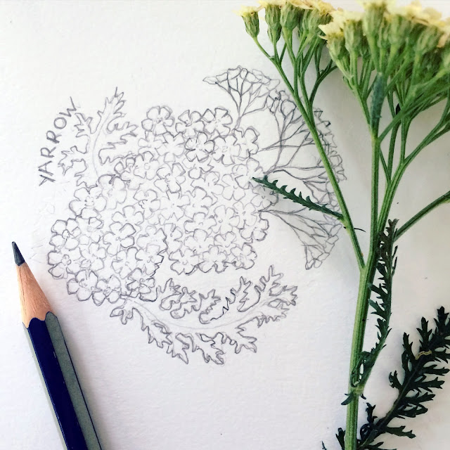 Sketch, Botanical Sketch, Yarrow, Artist, Gardener, Lisa Estabrook, Artist Interview, My Giant Strawberry