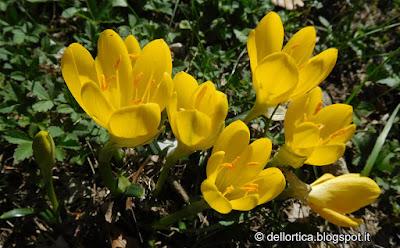 Sternbergia lutea rose erbe officinali aromatiche confettura tisane sali aromatici ed altro alla fattoria didattica dell ortica a Savigno Valsamoggia Bologna in Appennino vicino Zocca