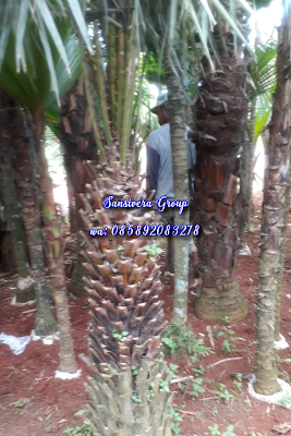 Palm copernicia alba