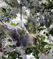 Tent Caterpillar (Malacosoma americanum) nest
