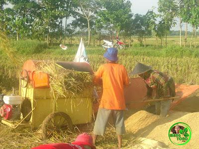 Panen padi kali ini menggunakan mesin perontok padi / cruser