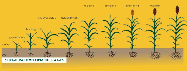 Sorghum Farming/Processing on Business Plans and Feasibility Study Report