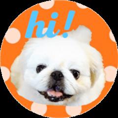 Pekingese dog Ten's POP! POP! English