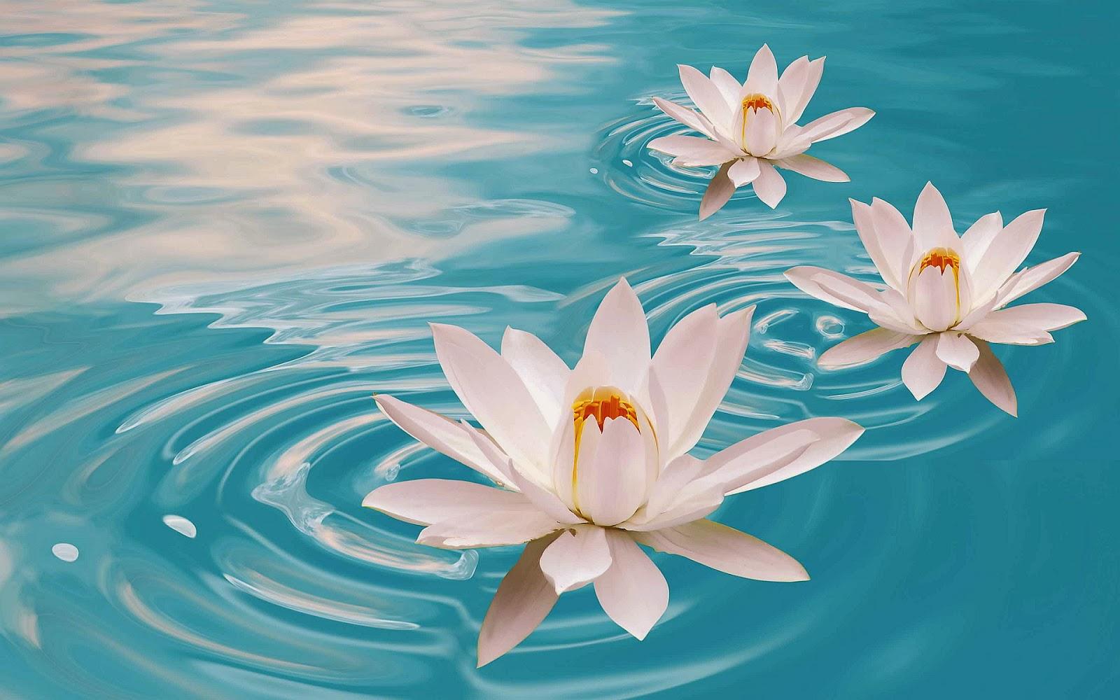 Lotus Flowers Wallpapers Beautiful Desktop Wallpapers 2014
