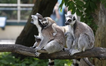 Wallpaper: Vienna Zoo. Animals. Primate. Lemur