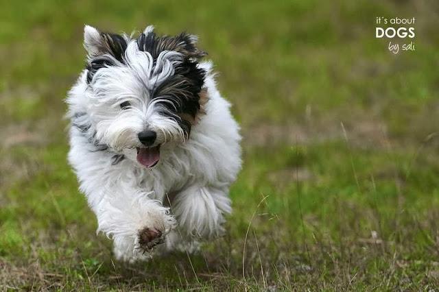 Biewer Yorkshire Terrier Lotta rennt Chiru hinter her