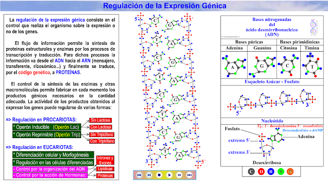 http://cienciasnaturales.es/REGULACIONGENICA.swf