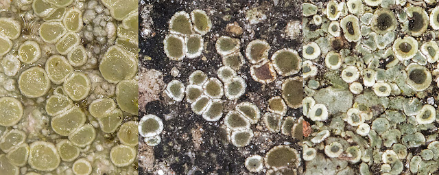 Lecanora chlarotera, Lecanora dispersa and Lecanora muralis.  January 2017.