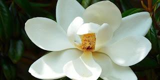 'La flor del magnolio' (3)