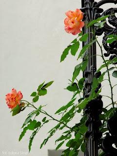 ochrona róż