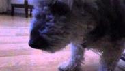 Köpek Sakız