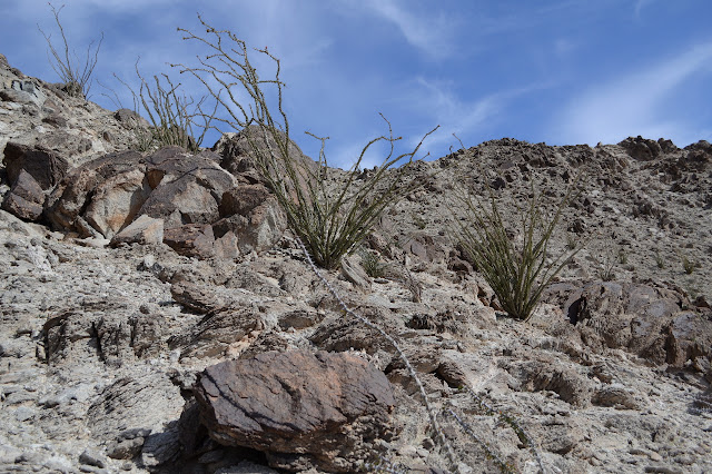 ocotillo on a more gradual slope