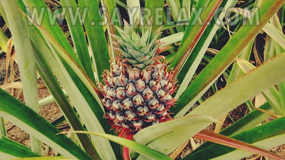 7 Benefits of Pineapple Fruit Which You Don't Yet Know
