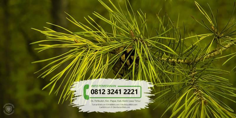 Jual Bibit Pohon Pinus Mercusi