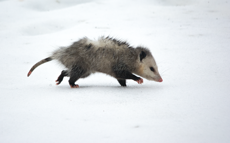 Possum walking in the snow