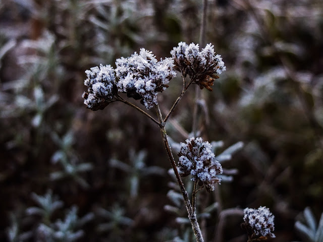 Marjoram flower heads covered with frost.