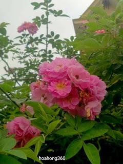 hình ảnh hoa hồng tầm xuân