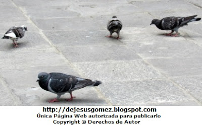 Imagen de palomas caminando. Foto de palomas tomada por Jesus Gómez