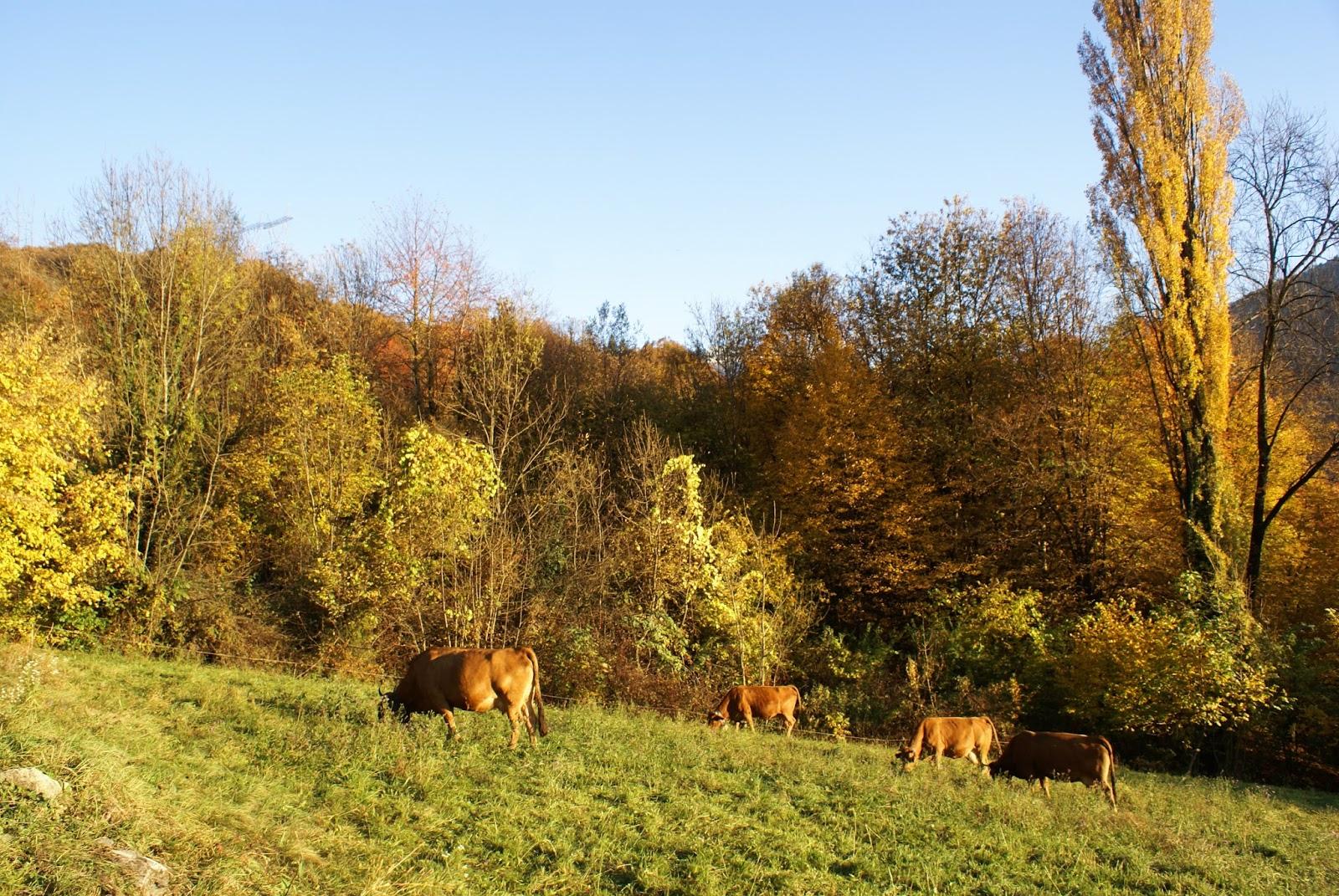 automne savoie feuilles nature vaches