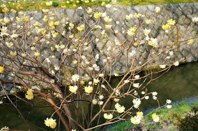 Flowers in Philosopher's Path Kyoto Japan