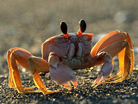 Crab Animal Pictures