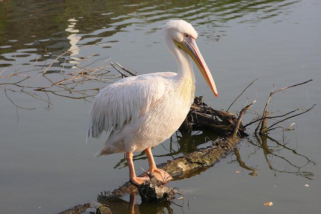 пеликан, зоопарк в Клайпеде, Клайпедский зоопарк