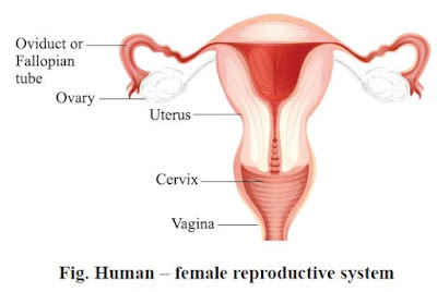 Human − female reproductive system