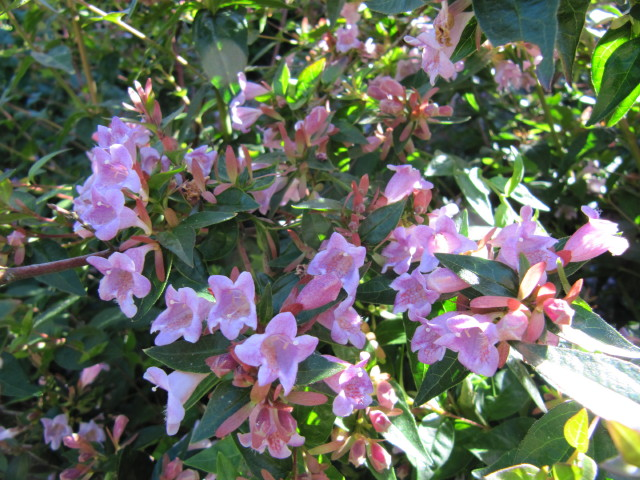 Abelia Edward Goucher Grow And Care Travaldos Blog