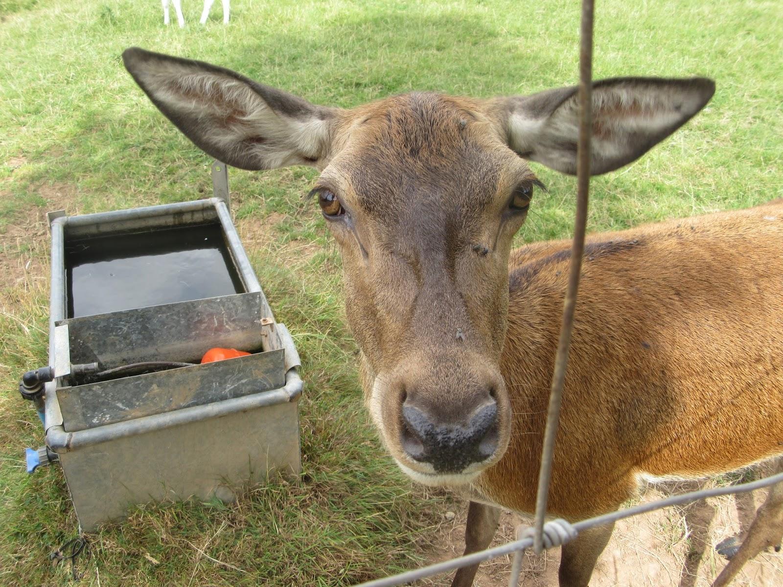 A close up of a red deer doe