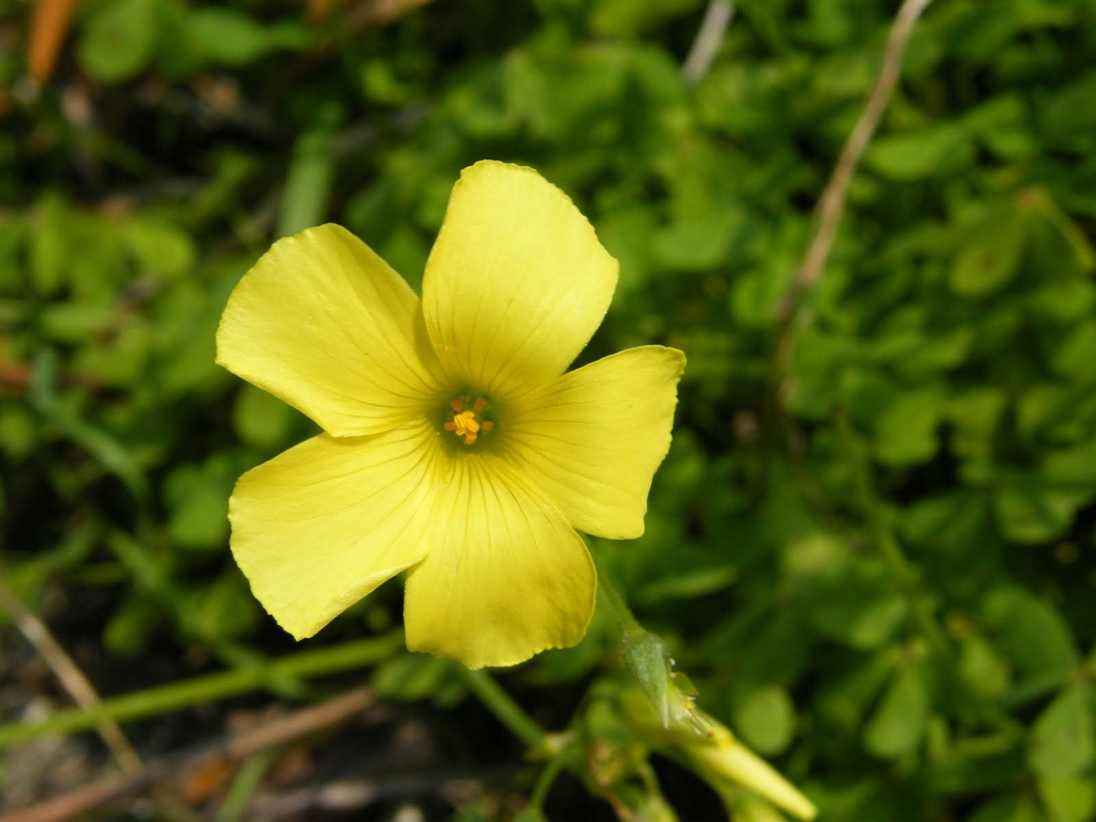 Wassard elea the nameless yellow flowers of the cilento these yellow flowers are all over the place at the minute i dont know what they are called carpets of them under the olive trees it doesnt come out mightylinksfo